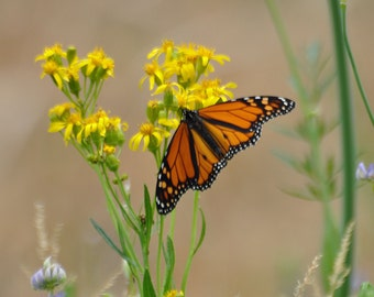 Monarch Butterfly on Yellow Wildflower Nature Photograph
