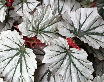 Looking Glass Angel Wing Begonia