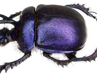 OVERSTOCK: Real Purple Dung Beetle Males or Pairs