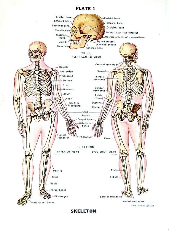 Human Skeleton Human Anatomy Chart 1949 Vintage Book Page