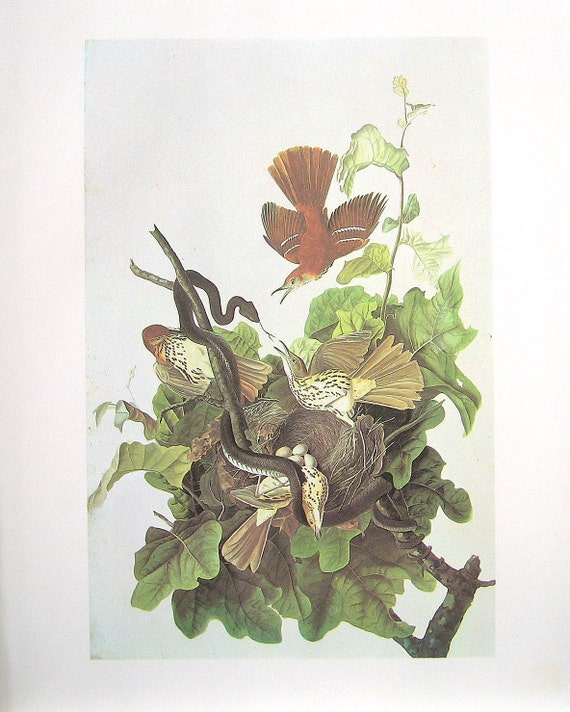 Brown Thrasher Audubon Bird Print