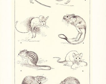 1903 Animal Print - Mice and Jerboas - Vintage Antique Home Decor Book Plate Art Illustration for Framing 100 Years Old