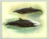 Sowerby's Whale, Cuvier's Whale, Vintage Print, Thorburn Painting 1919, Plate 46, Natural History, Woodland, Frameable Art