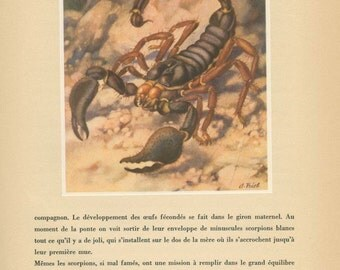 Scorpion Print, 1947, French Natural History, Home Decor, Entomology, P 109, Anton Trieb, Frameable Art