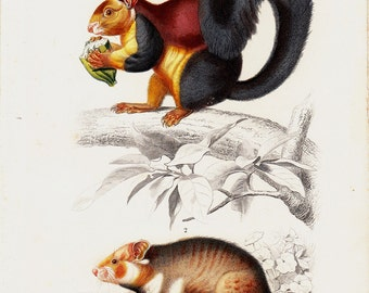 1869 Antique SQUIRREL and HAMSTER lithograph, Rodents, original antique hand colored print