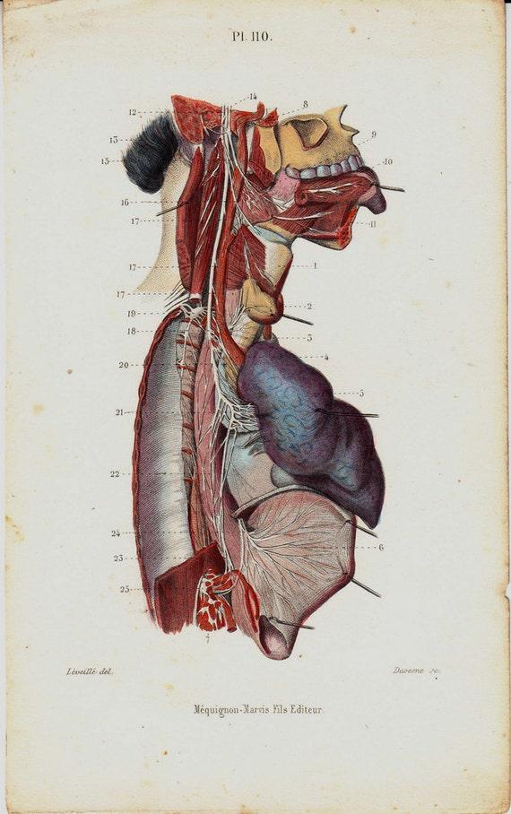 1843 Antique Anatomy Print Nerve Lung Gastric Tongue