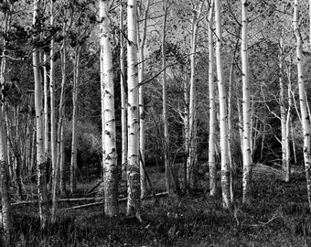 Birch Trees in a Grove in the State of Wyoming No. 0126 A Black and White Nature Fine Art Landscape Photograph