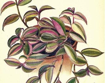 SALE Botanical Print, Plant Print, Flower Print, Art Print, Home Decor, Book Plate, House Plants, Wall Decor, Zebrina, Pink, A-15