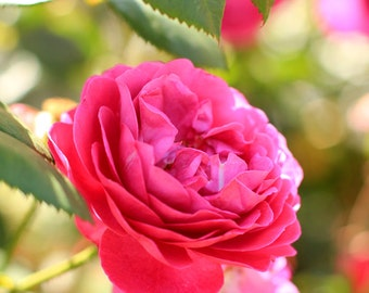 Hot Pink Roses - Garden Flower Photo Print - Size 8x10, 5x7, or 4x6