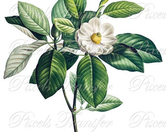 MAGNOLIA Instant Download, white magnolia flowers, wedding clipart, botanical illustration 325