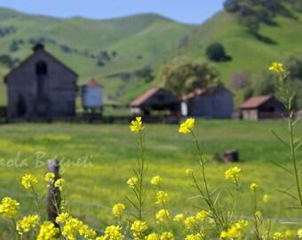 California Yellow Flower Photography, Old Barn, Rustic Fields, Farm, California, Spring, Cabin, Home Decor, Wall Art