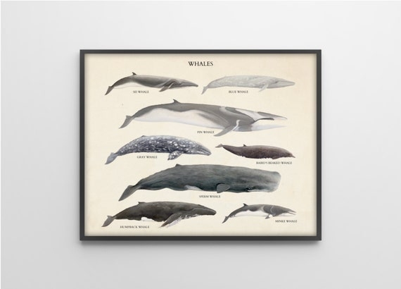 Whales Species - Scientific Art Print - Vintage Educational Scientific Specimen Poster - other sizes available