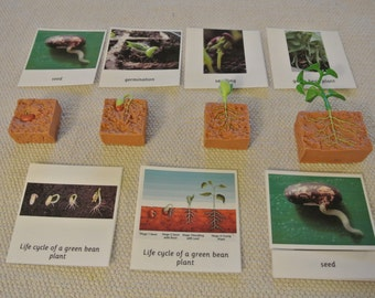 Montessori Life Cycle of a Green Bean Plant 5 Parts Cards with Miniatures