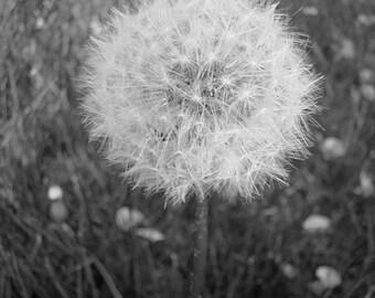 Black and White Dandelion Photo