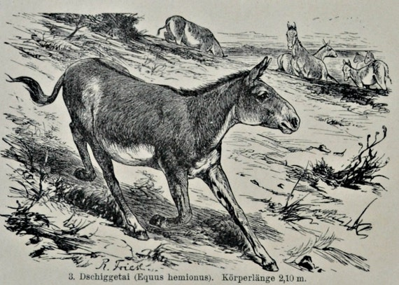 Equus illustration. Horses, donkeys and zebras print.Natural history engraving.Old book plate,1901.  113 years lithograph. 9'6 x 6'2 inches.