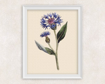 Corn Flower BOTANICAL ART  - 8x10 PRINT - Blue Vintage Wildflower Illustration - Item #130