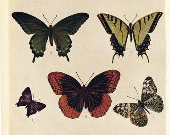 1909 Antique Print, Butterflies