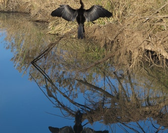 Download digital photo - African Darter drying it's wings after a swim at Pilanesberg National Park - South Africa