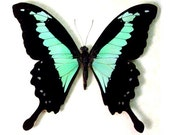 "Real Papilio phorcas ""Mint Swallowtail"" Butterfly, spread for your project or laminated or unmounted"