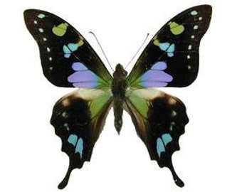 "Real Graphium weiskei ""Purple Swallowtail"" Butterfly, spread for your project or laminated or unmounted"