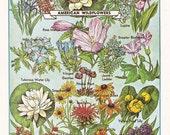 vintage illustration of 'American Wildflowers', a printable digital image no. 1460.