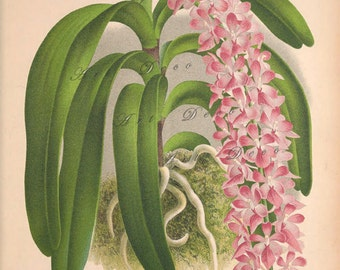 antique orchid print, a vintage printable digital image, no. 1301