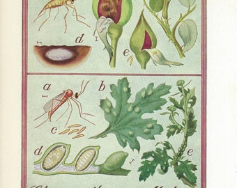 Vintage Book Plate - Mealy Bugs / Rose Midge / double sided / Insects / Garden Pests
