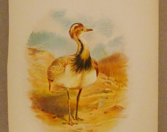Antique  PRINT BUSTARD Chromolithograph British Isles  Macqueens 10 3/4 x 8 1/4  great condition