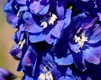 Organic Rocket Larkspur Mix Heirloom Flower Seeds