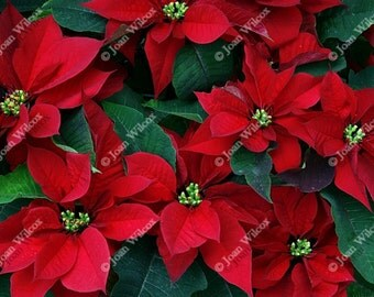 Pretty Red Holiday Poinsettias Floral Fine Art Photography Photo Print