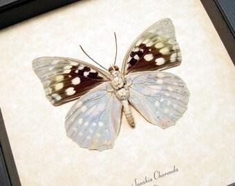 Real Framed Butterfly Sasakia Charonda Verso Purple Japanese Emperor 243V