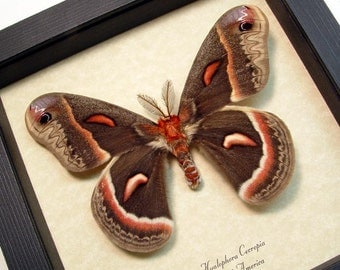 Real Hyalophora Cecropia Male Silk Moth 1028