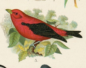 1903 Vintage Print of Birds of Canada and the US. Antique Chromolithograph of Birds - Plate 7. Snowflake, Sparrow, Tanager, Buntings