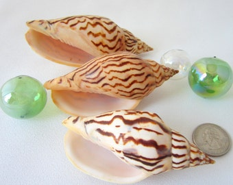 Beach Decor Shells - Nautical Decor Seashells - Striped Voluta Loroisi Sea Shells - Specimen Shells - Coastal Decor - Beach Home Decor - 1PC