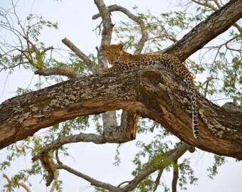 African Leopard Cub Photo Print