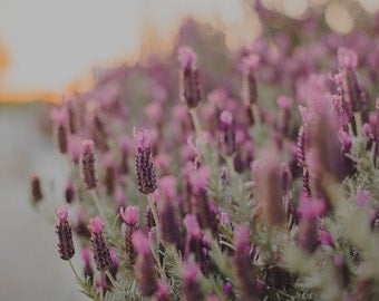 Lavender Print, Lavender Photograph, Purple Flower Print, Flower Photograph, Nursery, Travel Decor, Europe Print, Fine Art Travel Photograph