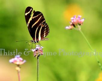 Zebra Longwing Photographic Art Print - 5x7 Photograph