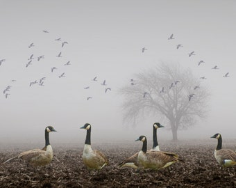 Migrating Canada Geese on a Foggy Morning in a West Michigan Field No.037 - A Fine Art Bird Landscape Photograph