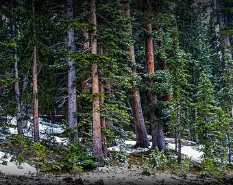 Pine Tree Forest with snow in the Rocky Mountain National Park near Grand Lake Colorado No.0924 - a Fine Art Mountain Tree Forest Photograph