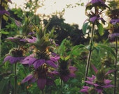 Roadside No. 58 - Spotted Bee Balm Wildflowers 5x7 8x10 Archival Quality Photo Print Purple Green Summer Nature Flowers Garden Flora Fauna