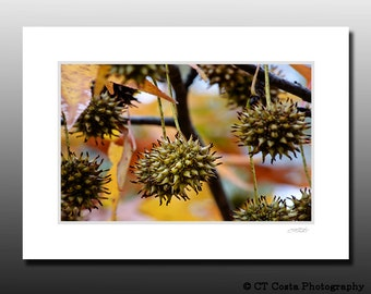 Autumn Tree Photo, Sweetgum tree, Colorful art, Small matted print, ready for framing, fall wall art, brown