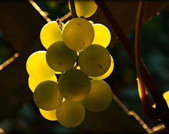 Golden Grapes Photograph Decor,fruit,kitchen art,yellow,gold,sunlight,glowing,dining room decor,autumn,fall harvest,evening light
