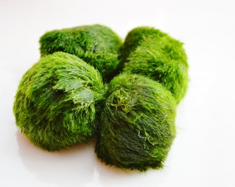 Marimo Moss Ball  ~ Japanese Moss Ball ~  Fresh Water Moss Ball ~ Algae ~ Approximate size 1/2 Inch ~ 0.5 inch
