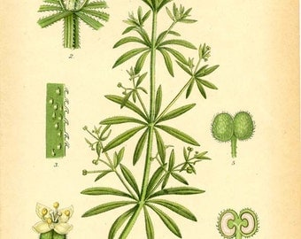 CLEAVERS [Galium Aparine] - 1905 BOTANICAL Book Plate 68