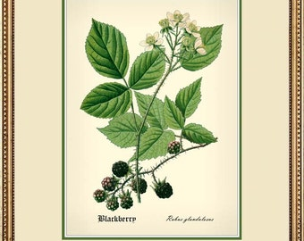 BLACKBERRY antique botanical 5x7 print reproduction 2578