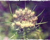 Queen Anne's Lace Photograph, Wild Carrot, white flower picture, wild flower, umbellifer, Apiaceae, distressed look, antique finish
