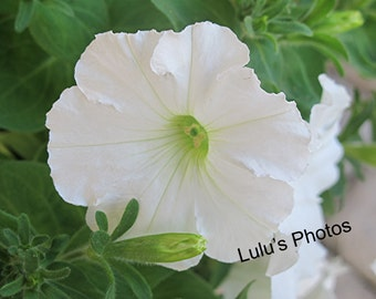 Flower Photography, A White Petunia for Spring and Summer