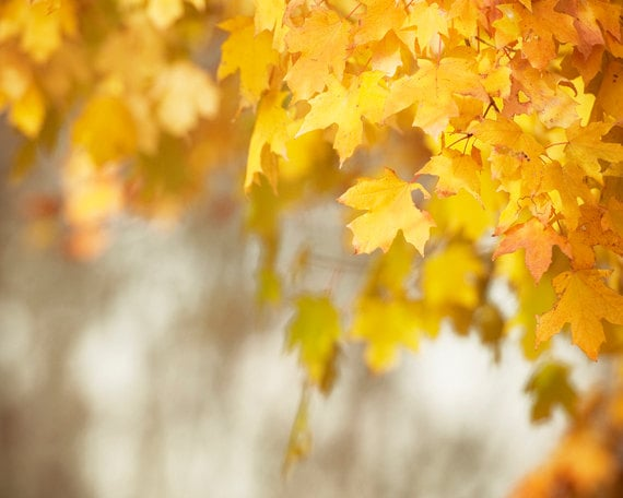 """Autumn Photography - fall leaves print tree yellow orange gold decor golden nature brown beige - 8x10 Photograph, """"Her Hardest Hue to Hold"""""""