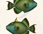 Antique Fish Art Collage Print - Natural History - Balistes fuscus