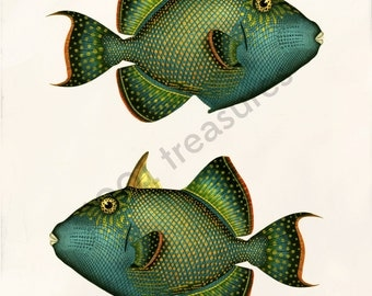 Antique Fish Art Collage Print - Natural History - Balistes fuscus